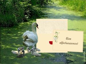 20-Famille cygnes