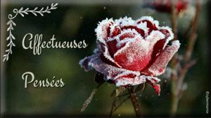 20-Rose givrée