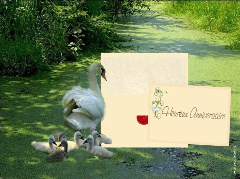 16 - Famille cygnes