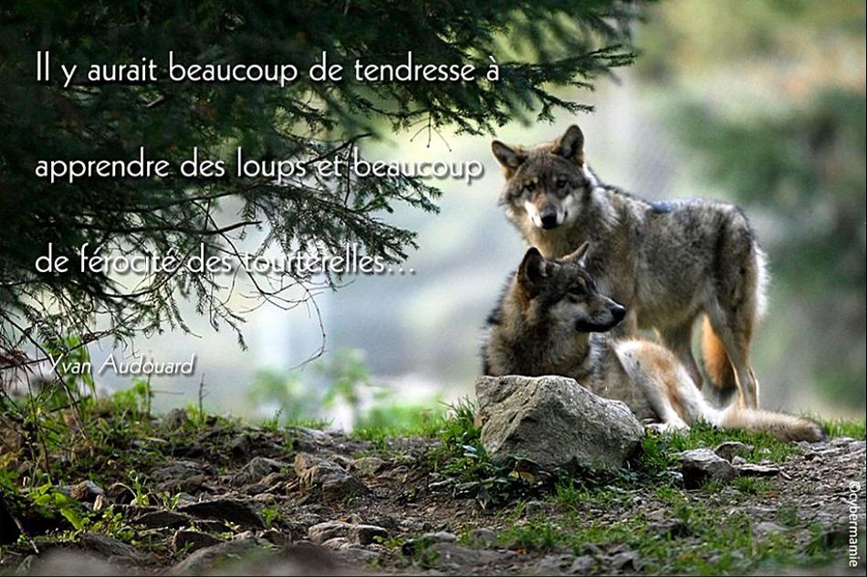 16 - Loups