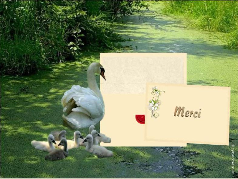 15 - Famille cygnes